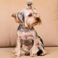 Yorkshire terrier sit