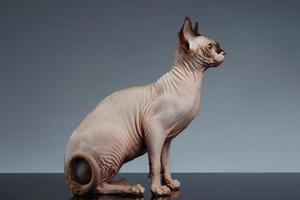 Sphynx Cat Sits and Looking Forward on Black