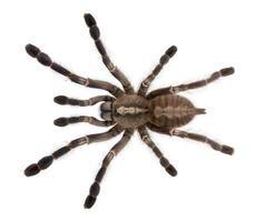 Vista de ángulo alto de la araña tarántula, poecilotheria metallica, fondo blanco.