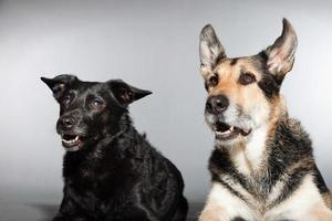 Two dogs together. Black mixed breed dog and german shepherd.