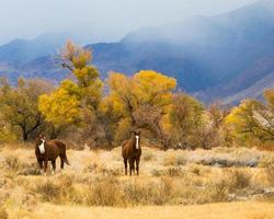 Two Chestnut horses, Owens Valley, California photo