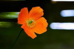 Eschscholzia californica poppy wild flower head photo