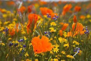 Calif Poppies. photo