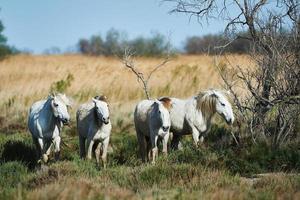 Horses of Camargue photo