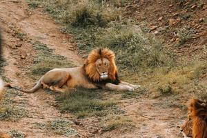 Male lion laying on ground