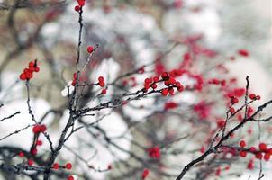 Winterberry holly photo