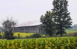 Kentucky Barn and Tobacco Field on Hazy Summer Day