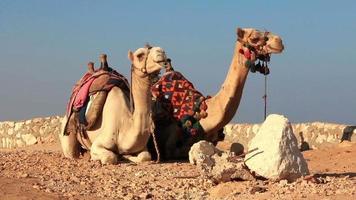 camelos egípcios video