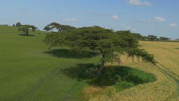 Antenne: Akazienbäume auf einem großen Weizenfeld in Afrika video