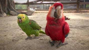 Red and Green Exotic Parrots video