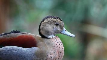 Ringed Teal, Allonetta leucophrys portrait