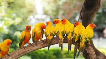 Group sun conure parrot on tree branch.