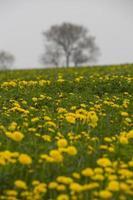 Dandelion Field in Door County Wisconsin