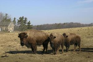 Group of American Bison, Bison bison