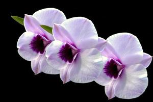 Isolated white orchid flower