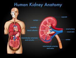 cartel informativo de la anatomía del riñón humano