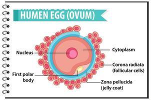 Estructura de óvulo u óvulo humano para infografía de educación sanitaria. vector