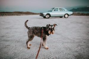 Cape Town, South Africa, 2020 - Terrier dog in front of classic car