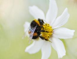 abejorro en flor de margarita