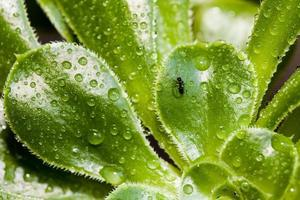 Ant and raindrops on a green plant