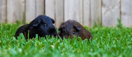 Sydney, Australia, 2020 - Two guinea pigs in green grass