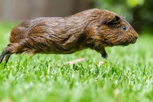 Sydney, Australia, 2020 - Close-up of a leaping guinea pig
