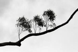 blanco y negro de la silueta de la rama de un árbol