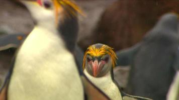 pingüinos reales hd video