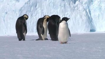 Antártida - pingüinos emperador video
