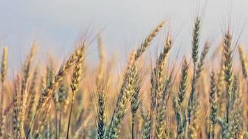 espigas de trigo maduras no campo, acenem com o vento