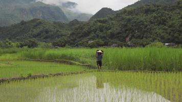 Bauernmann, der Erntekorb in Reisfeldern von Sapa Mai Chau Vietnam trägt video