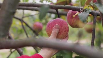 Picking an apple harvest close up. Farmer hand twists ripe red apple rolling off from tree spur branch in apple orchard garden countryside. Organic farming eco food homegrown fruits healthy vitamins