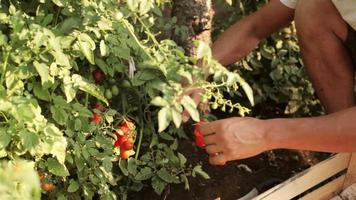 Hands of farmer picking a cherry tomatoes on organic farm