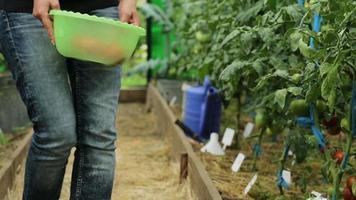 uma mulher colhe tomates maduros