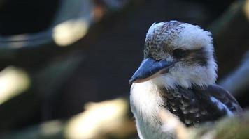 rindo kookaburra close up retrato