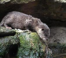 Otter looking down from a rock