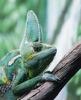Close-up of a chameleon on a branch