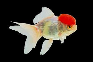 Close-up shot at Lionhead Goldfish or Ranchu goldfish red head white body.