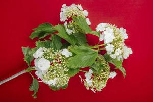 Top view of a branch of blooming viburnum