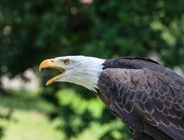 Close-up of a bald eagle photo