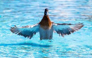 Duck spreading wings in a pool photo