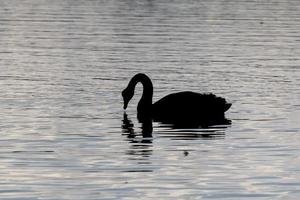 Silhouette of a swan on the water