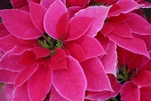 Group of red poinsettias
