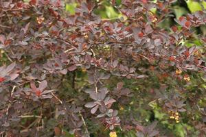 Dark purple leaves