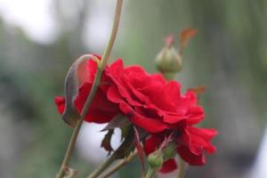 Close-up of a red rose