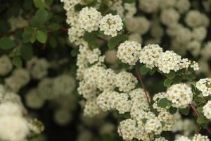 hermosas flores blancas