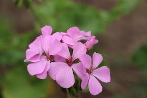 primer plano de flores rosadas
