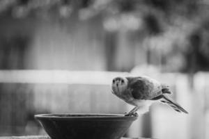 escala de grises de un pájaro preparándose para beber