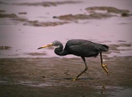 Black heron hunting at low tide photo
