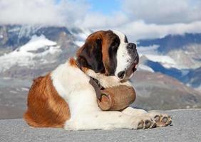 St Bernard dog in a mountain setting